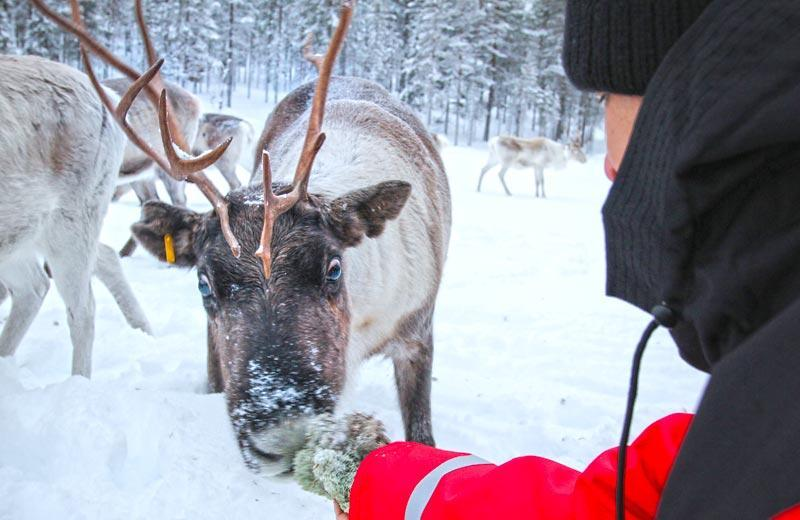 Visit to a reindeer farm